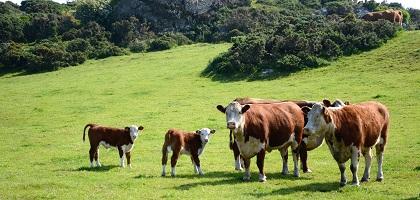 Cows and Calves Salbri